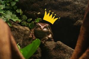 zaba 300x200 Szukając księcia, całuje same żaby