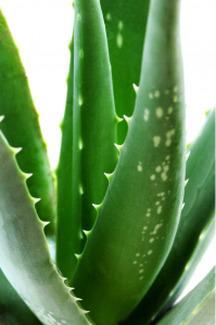 aloes 1 199x300 Aloes jako naturalny skarb