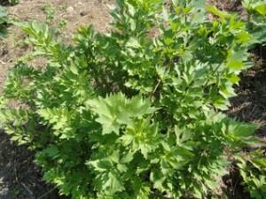 uprawa lubczyku 17187 4 300x225 Lubczyk do rosołu, lubczyk do miłości.