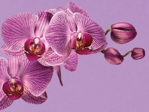pantone color year 2014 radiant orchid 18 3224 300x225 Purpura i fiolet odcieniem roku 2014